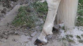 一匹白色公马的爪子,当被洗涤由他的大师时 股票录像