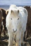 一匹白色冰岛马的画象在冬天风景的 免版税库存图片