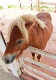 一匹矮小的马在畜栏 图库摄影