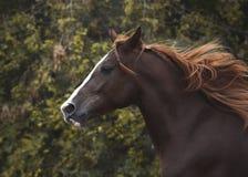 一匹红色马的画象自由秋天的 免版税库存照片