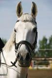 一匹纯血统展示跳跃的马的画象特写镜头 免版税图库摄影