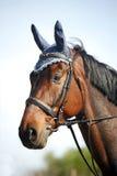 一匹纯血统展示跳跃的马的画象特写镜头 免版税库存图片