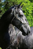 一匹纯血统幼小lipizzaner母马的顶头射击 图库摄影