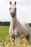 一匹纯血统阿拉伯公马的画象 免版税库存照片