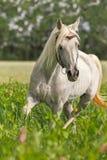 一匹纯血统阿拉伯公马的画象 免版税图库摄影