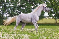 一匹纯血统阿拉伯公马的画象 免版税库存图片