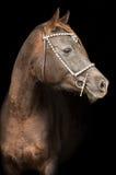 一匹纯血统阿拉伯马的画象 免版税库存照片
