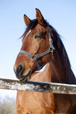 一匹纯血统马的画象在一个晴朗的冬日 库存照片