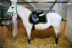 一匹纯血统lipizzaner马的侧视图照片在动物农场的 库存照片