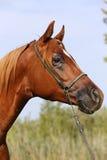 一匹美丽的好奇阿拉伯公马的顶头射击反对蓝天的 库存图片
