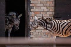 一匹美丽的斑马在动物园里 库存图片