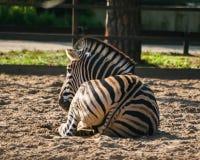 一匹美丽的斑马在动物园里 免版税图库摄影