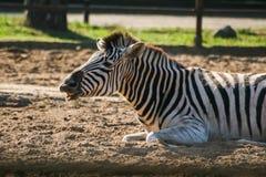 一匹美丽的斑马在动物园里 库存照片