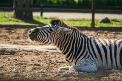 一匹美丽的斑马在动物园里 免版税库存图片