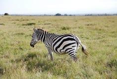 一匹美丽的斑马在Ol Pejeta管理浩大的大草原草原  库存图片