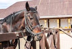 一匹美丽的栗子公马的头 库存照片