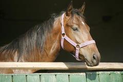 一匹美丽的栗子公马的特写镜头 免版税图库摄影