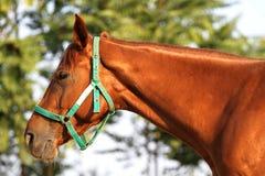 一匹美丽的栗子公马的顶头射击在农场的 库存图片