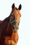 一匹美丽的栗子公马的顶头射击在白色背景的 免版税库存照片