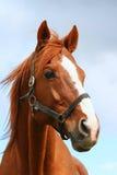 一匹美丽的栗子公马的顶头射击特写镜头在农场的 图库摄影