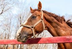 一匹美丽的栗子公马的头 库存图片