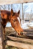 一匹美丽的栗子公马的头 免版税图库摄影