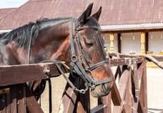 一匹美丽的栗子马的头 库存图片