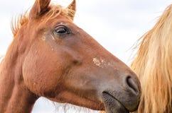 一匹美丽的棕色良种马的画象在农场的 栗子马的顶头射击 好的棕色海湾马画象  免版税库存图片