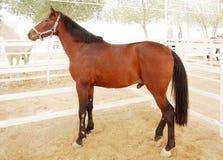 一匹美丽的棕色阿拉伯公马 免版税库存图片
