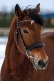 一匹美丽的棕色马的枪口 免版税库存照片