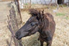一匹美丽的棕色马的特写镜头在篱芭后的 顶视图 库存照片