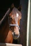 一匹美丽的棕色马的特写 库存图片