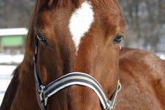 一匹美丽的海湾马的特写 库存照片