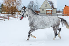 一匹美丽的灰色马跳过冬天 免版税图库摄影