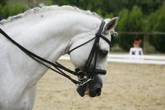 一匹美丽的灰色驯马马的侧视图画象在工作期间的 库存照片