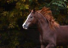 一匹美丽的红色马的画象自由秋天的 库存图片