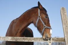 一匹美丽的纯血统栗子公马的特写在冬天co 库存照片