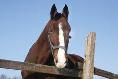 一匹美丽的纯血统栗子公马的头在冬天畜栏 免版税库存图片