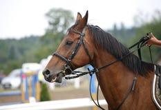 一匹美丽的纯血统赛马的面孔在跳跃的competitio的 库存照片