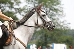一匹美丽的纯血统赛马的面孔在跳跃的competitio的 免版税库存照片