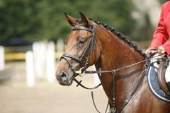 一匹美丽的纯血统赛马的面孔在跳跃的competitio的 免版税库存图片