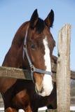 一匹美丽的良种马的特写在冬天pinfold的 免版税库存照片