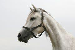 一匹美丽的阿拉伯马的顶头射击在牧场地 免版税库存照片