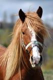 一匹美丽的马的画象 免版税图库摄影