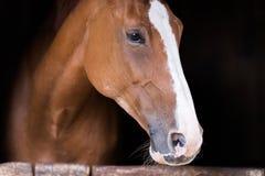 一匹美丽的purbred马的画象 库存照片