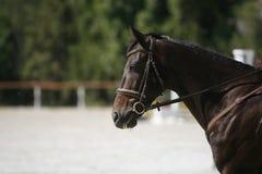 一匹美好的展示跳跃的马的侧视图画象在工作期间的 免版税库存照片
