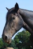 一匹老黑马的顶头射击 库存照片