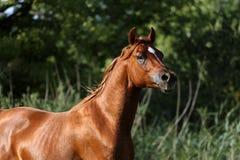 一匹良种幼小公马的顶头射击在夏天草甸的 免版税库存图片