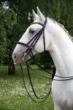 一匹良种幼小lipizzaner马的画象 免版税图库摄影