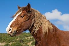 一匹良种栗子公马的画象 免版税库存照片